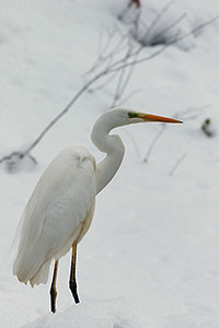 White heron in the snow.